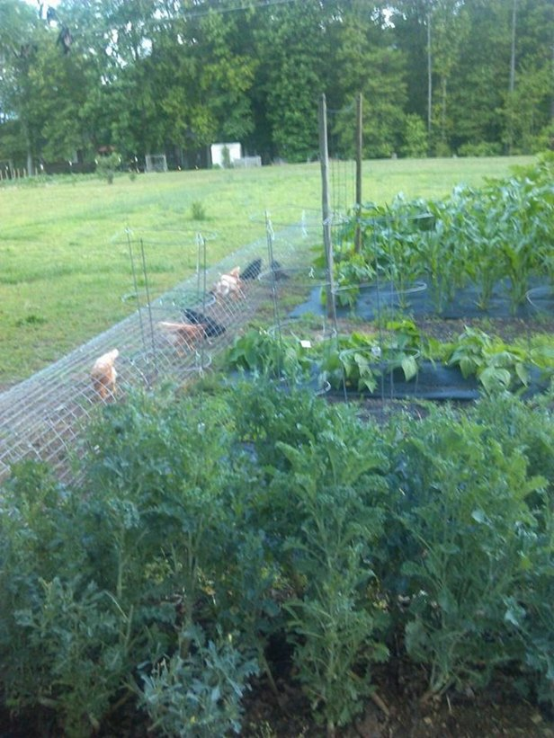DIY Backyard Chicken Tunnels Tutorial